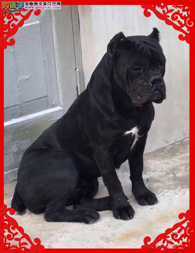 纯种卡斯罗犬 双血统卡斯罗护卫犬 大量幼犬出售2