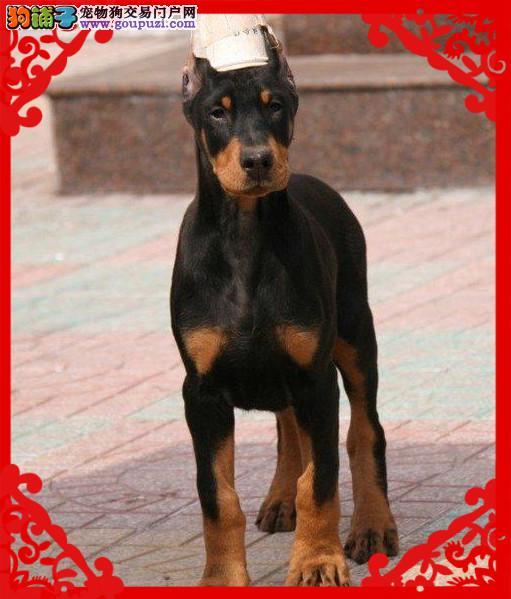 德系杜宾犬、免费送货到家、售后签订协议保成活2