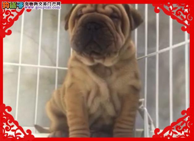 正规犬舍有沙皮犬出售 多只可选 品相好 健康1