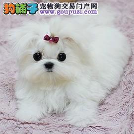 纯种超小体马尔济斯幼犬 签协议纯正品质 可见狗父母2