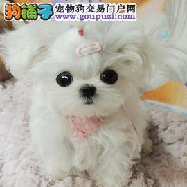 纯种超小体马尔济斯幼犬 签协议纯正品质 可见狗父母3