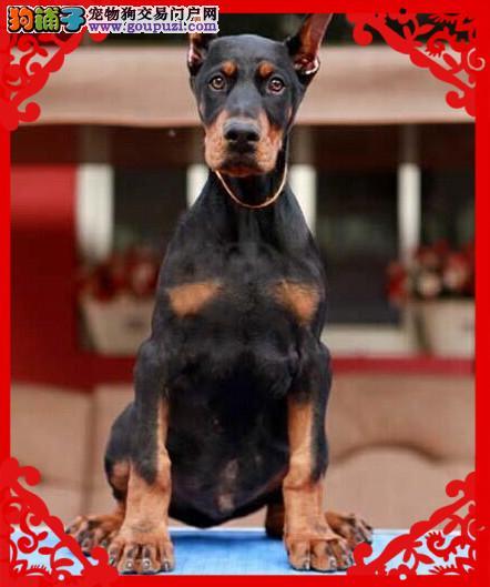 德系杜宾犬、免费送货到家、售后签订协议保成活4