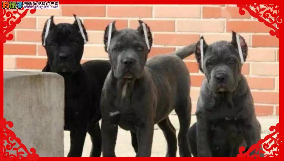 纯种卡斯罗犬 双血统卡斯罗护卫犬 大量幼犬出售1