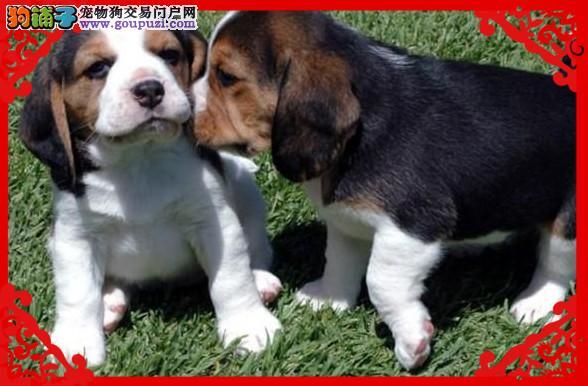 疫苗齐全三个月质保  纯种 比格幼犬   可送货1