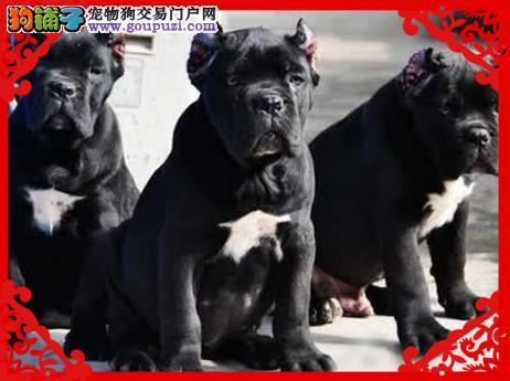 纯种卡斯罗犬 双血统卡斯罗护卫犬 大量幼犬出售3