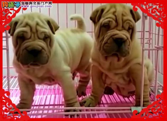 正规犬舍有沙皮犬出售 多只可选 品相好 健康2