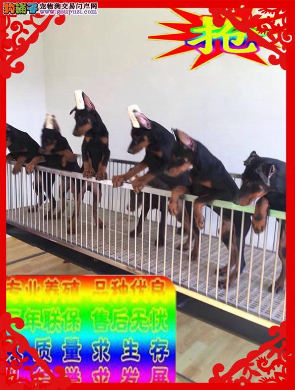 德系杜宾犬、免费送货到家、售后签订协议保成活3