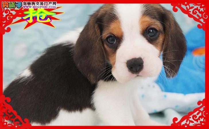 疫苗齐全三个月质保  纯种 比格幼犬   可送货2