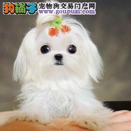 纯种超小体马尔济斯幼犬 签协议纯正品质 可见狗父母4