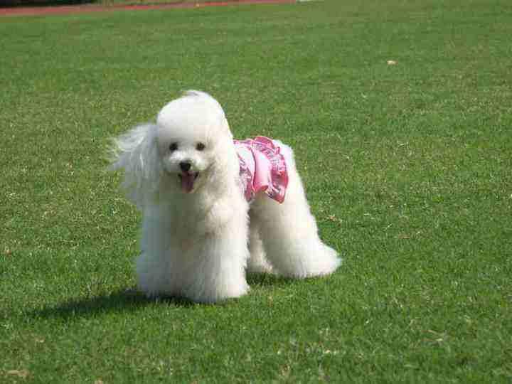800/只 长期出售 顶级贵宾犬 纯种健康 货到付款