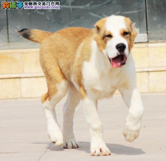 官方保障|出售纯种中亚 健康有保障 可签购犬协议