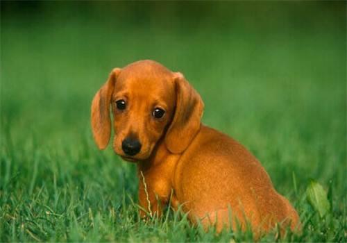 800/只 长期出售 腊肠犬 纯种健康 货到付款