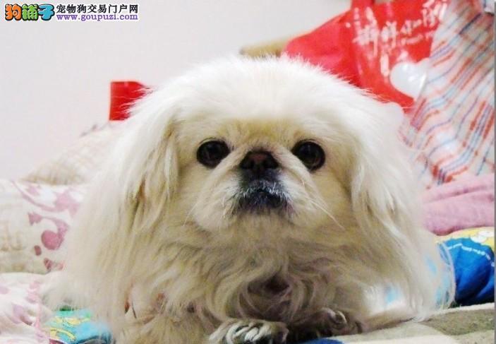 合肥最大犬舍出售纯种京巴犬 包纯种包养活可上门自提