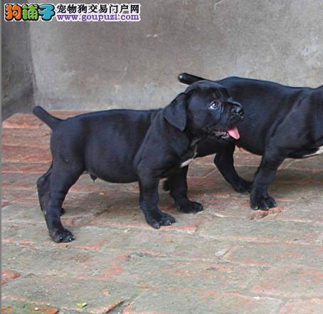 合肥最大犬舍出售纯种卡斯罗 包纯种包养活可上门自提