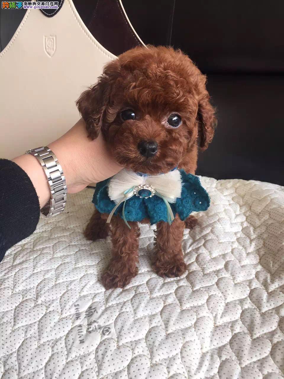 合肥最大犬舍出售纯种泰迪犬 包纯种包养活可上门自提