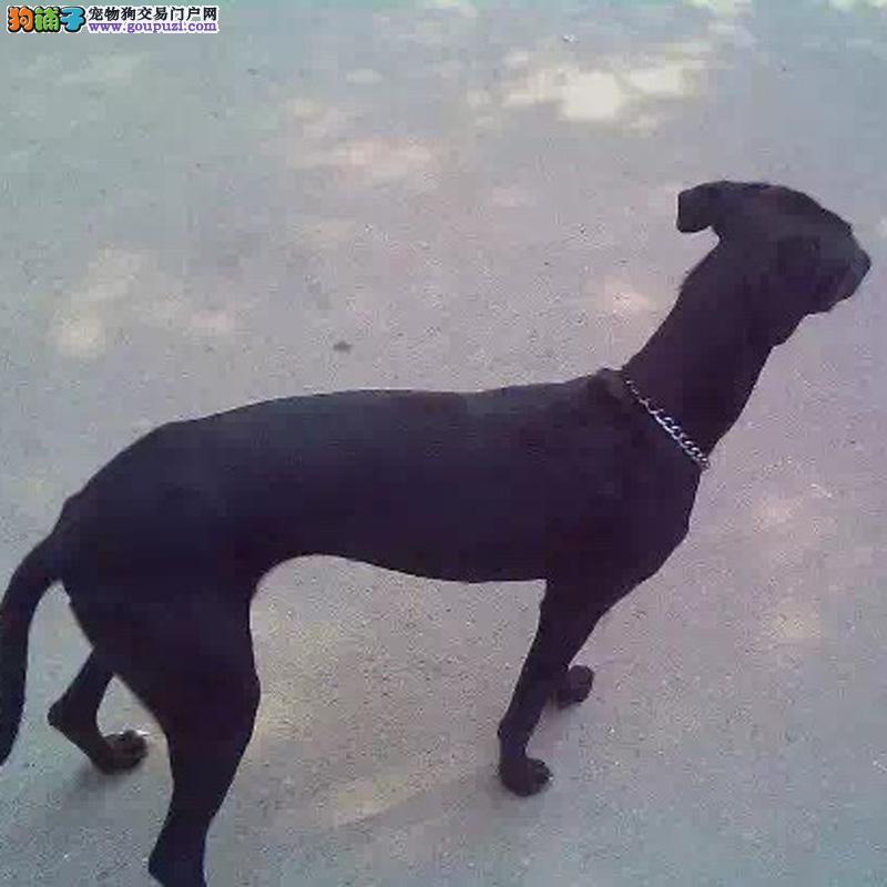 官方推荐 纯种格力灵缇猎犬 健康包活 可签协议 可退换