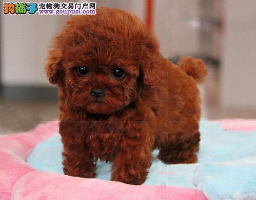 北京市卖的最好的泰迪周边可以送货