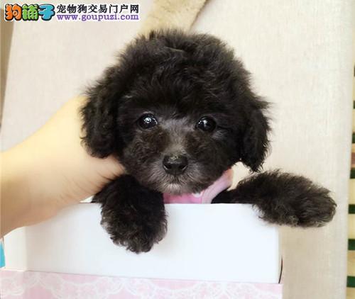 纯种泰迪、精品泰迪幼犬、保纯种健康、给宝宝们找新家3