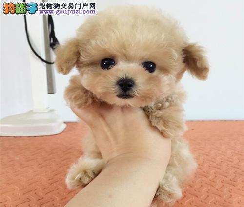 纯种泰迪、精品泰迪幼犬、保纯种健康、给宝宝们找新家1