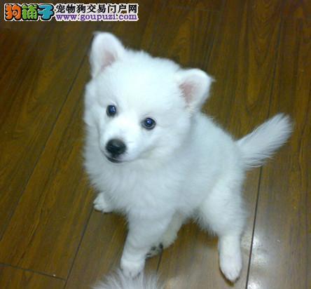 专业培育纯种银狐幼犬出售/CKU认证品质绝对保证2