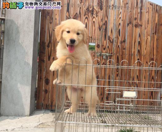 纯种金毛幼犬待售公母都有/CKU认证品质绝对保证