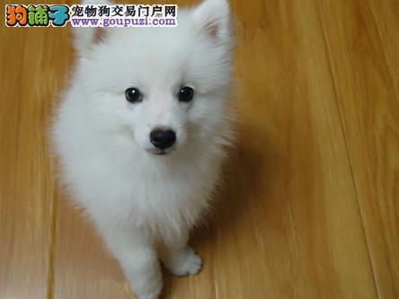 专业培育纯种银狐幼犬出售/CKU认证品质绝对保证1