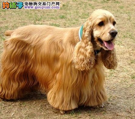 专业培育纯种精品可卡幼犬/CKU认证品质绝对保证