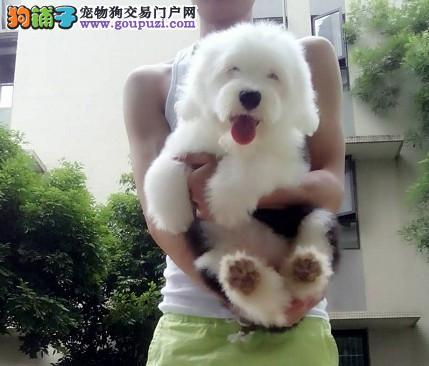 纯种古牧幼犬出售公母都有/CKU认证品质绝对保证