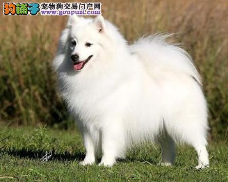 专业培育纯种银狐幼犬出售/CKU认证品质绝对保证