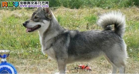 辨别柯基犬是否纯种的小方法