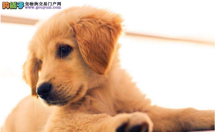 金毛狗狗的皮屑在哪里、妙方去皮屑省时又方便