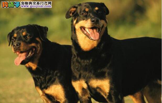 家有罗威纳犬的消毒误区有什么