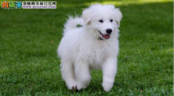 大白熊犬的训练要点和注意事项
