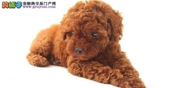 泰迪犬的日常脚部护理技巧大盘点