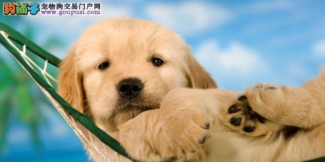 让养狗变成变成一件轻松的事情,解决金毛挑食问题