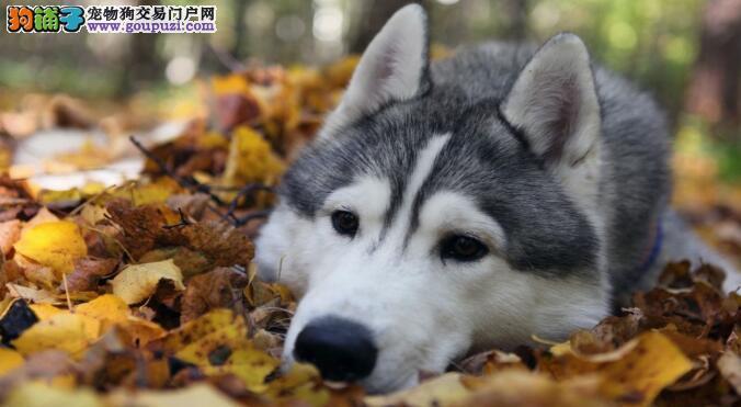 为什么阿拉斯加犬呼吸加剧