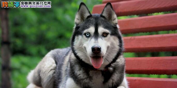 阿拉斯加犬适合吃什么水果?有什么效用