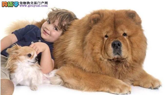 松狮狗狗易得皮肤病,家长该怎样去预防呢