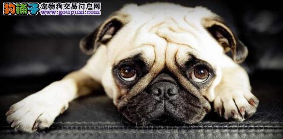 产后狗狗的饮食必须要注意