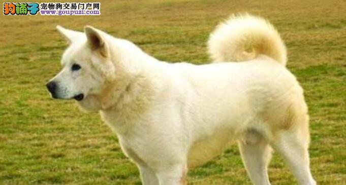 秋田犬爱啃自己的尾巴正常吗?是不是得了什么病