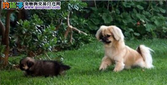 训练西藏猎犬的方法集锦
