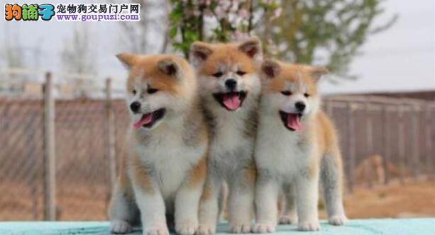 如何能够预防秋田犬发生疾病呢