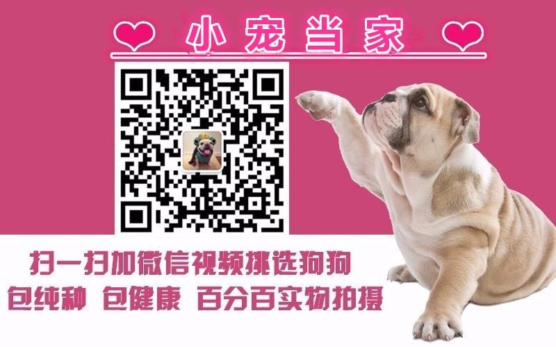 广州出售泰迪犬 纯种健康茶杯泰迪幼犬签协议可见父母5