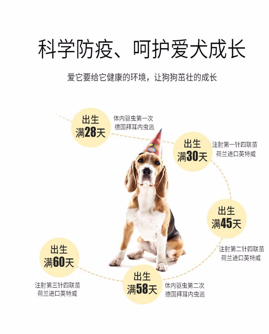 拉布拉多幼犬热销中、国际血统品相好、购犬可签协议7