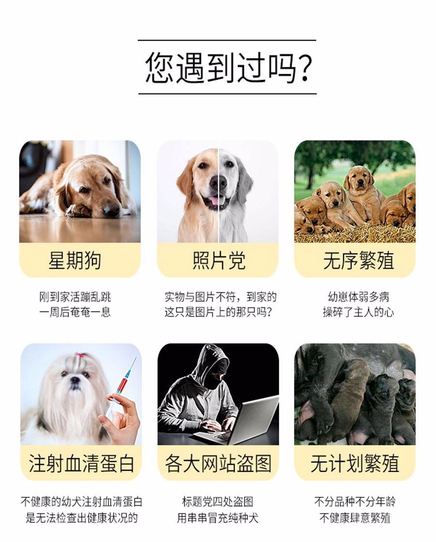 拉布拉多幼犬热销中、国际血统品相好、购犬可签协议6
