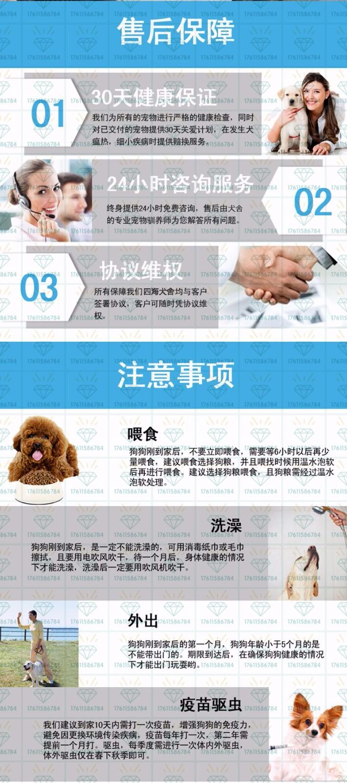 纯种优秀韩系泰迪犬特价出售 西安市内可免费送狗