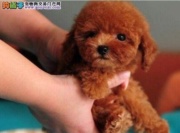 上海宠物狗养殖场出售精品泰迪