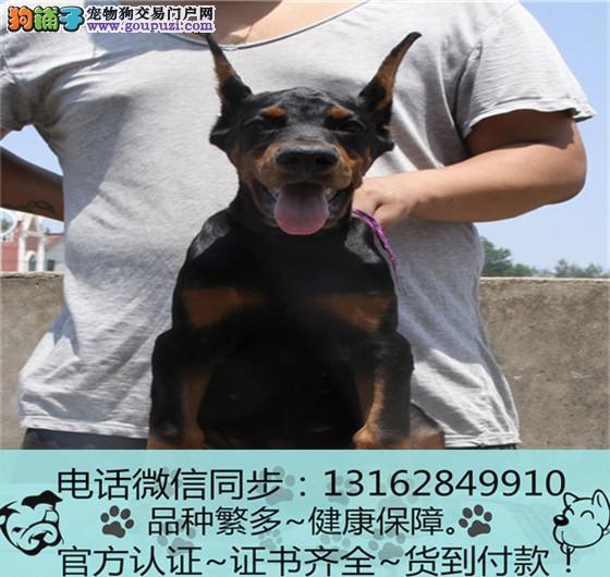 官方保障|杜宾犬 血统纯种 可实地挑选 可送到家