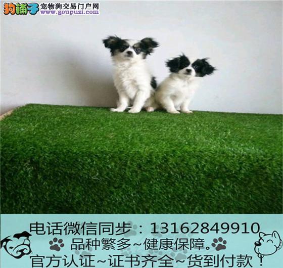 cku认证犬舍出售极品蝴蝶签协议保健康