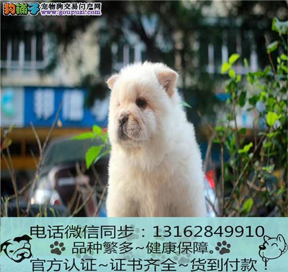 cku认证犬舍出售极品松狮犬签协议保健康